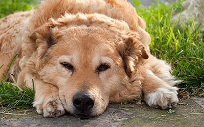 Suha hrana za starejše pse